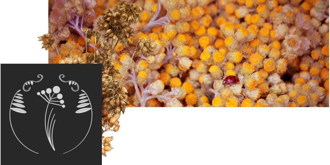 immortelle - helichrysum italicumde corse - vertus regenerantes cicatrisantes